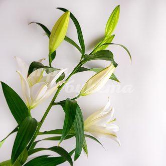 Лилии поштучно